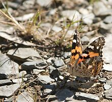 Australian Painted Lady by NaturalCultural