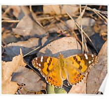 Australian Painted Lady - wings open Poster