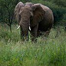 Bull Elephant by mypic