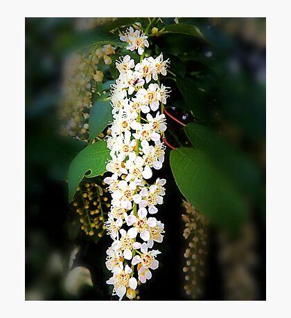 Prunus blossom Photographic Print