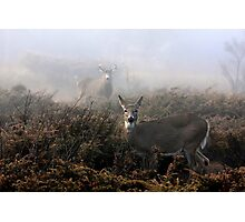 The rut is on! - White-tailed Buck and doe Photographic Print
