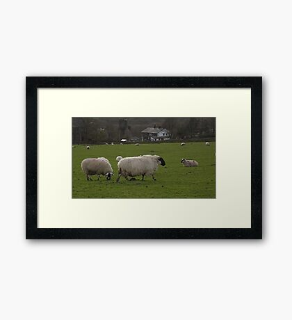 Group of sheep Framed Print