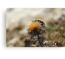Thistle in Spring Canvas Print