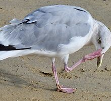Herring Gull With A Itch by lynn carter