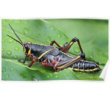 An immature lubber grasshopper( the wet look!) Poster