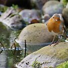 Robin by Lancashire Pond by Richard Ion