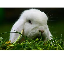 Bluebelle White Bunny Photographic Print