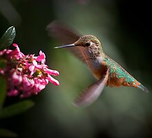 Hummingbird In Flight by Cat Burton