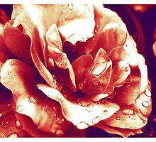 Red rose at the morning with water drops by Thubakabra