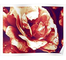 Red rose at the morning with water drops Poster