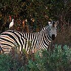 Zebra with bird by Marylou Badeaux