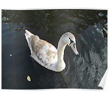 beauty swan Poster