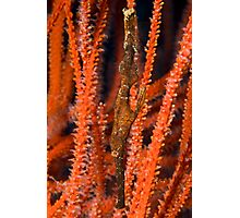 Ghost Pipefish, Kimbe Bay, Papua New Guinea Photographic Print