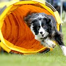 Border Collie Through Tunnel by AndreaEL