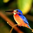 Blue earred Kingfisher by David McGilchrist