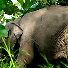 Bornean Pygmy Elephant by David McGilchrist