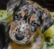 BLUE MERLE AUSSIE MIX by Peggy  Volunteer Photographer FOR RESCUE ANIMALS