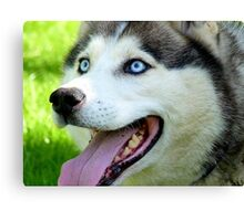 Micky Blue Eyes -Siberian Husky Dog - NZ Canvas Print