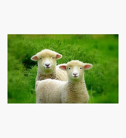 The Red Bubble Definition of Cute! - Lambs - NZ Photographic Print