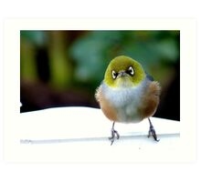 Little boy lost! - Silvereye - Wax Eye - New Zealand Art Print