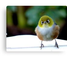 Little boy lost! - Silvereye - Wax Eye - New Zealand Canvas Print