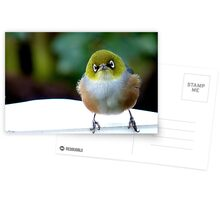 Little boy lost! - Silvereye - Wax Eye - New Zealand Postcards