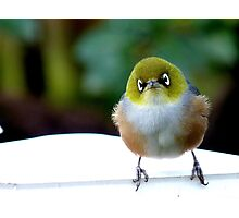 Little boy lost! - Silvereye - Wax Eye - New Zealand Photographic Print