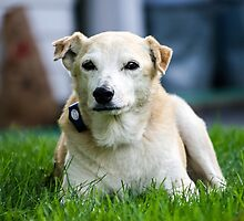 """""""Hudson""""  Lab Rescue Senior by Peggy  Volunteer Photographer FOR RESCUE ANIMALS"""