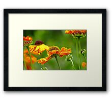 Day's Eye! - Black Eyed Susan - Cone Flower NZ Framed Print