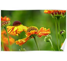 Day's Eye! - Black Eyed Susan - Cone Flower NZ Poster