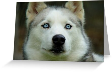 Look Into My Baby Blues!!! - Siberian Husky - NZ by AndreaEL