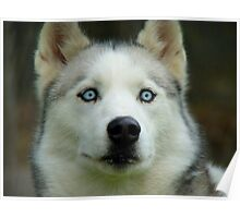 Look Into My Baby Blues!!! - Siberian Husky - NZ Poster
