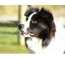 At Your Command I'm Ready For Outrun! - Border Collie - NZ Photographic Print