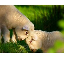 We Know We're Cute & Cuddly...!- Lambs - NZ Photographic Print