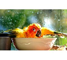 I'm Singing In The Rain..!!! - Sun Conure - NZ Photographic Print
