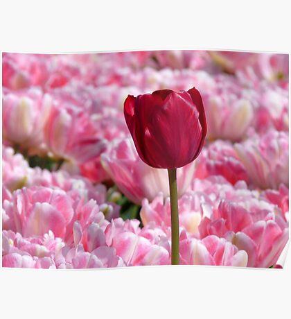 Oops... I Don't Think I Belong Here... - Tulip Plantation - NZ Poster