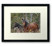 Bay Stallion, Black Mare Framed Print
