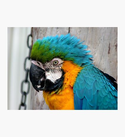 Don't You Just Love Hair Gel..It Adds Height!! - Macaw - NZ Photographic Print