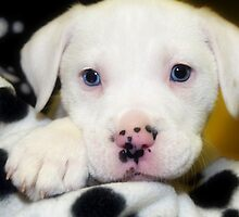 """""""Spots on Nose""""  Blue Eye Puppy by Peggy Franz Animal and Rescue Photography"""
