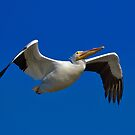 American White Pelican by TJ Baccari Photography
