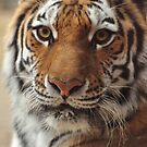 Amur by Amber Williams