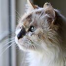 Blue Eye Cat by Kimberly Palmer