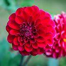 Red Dahlia by PhotosByHealy
