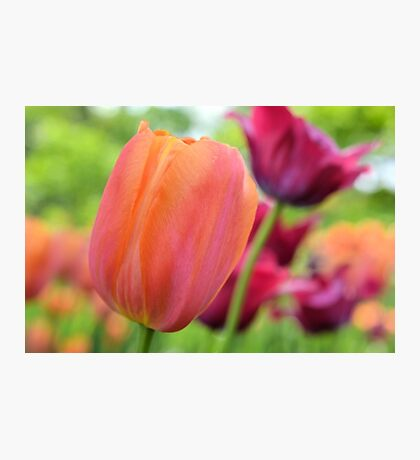 Orange and Red Violet Tulips Photographic Print