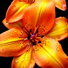 Radiant Orange Lilies by Kathryn Jones