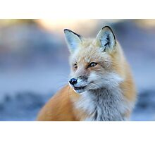 Red Fox - Algonquin Park, Canada Photographic Print
