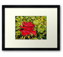 Beautiful red rose 2 Framed Print