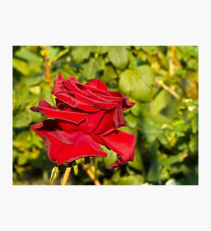 Beautiful red rose 2 Photographic Print
