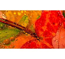 Wet Red Maple  Photographic Print