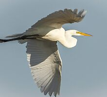 Close up of Great Egret in Flight by Thomas Young